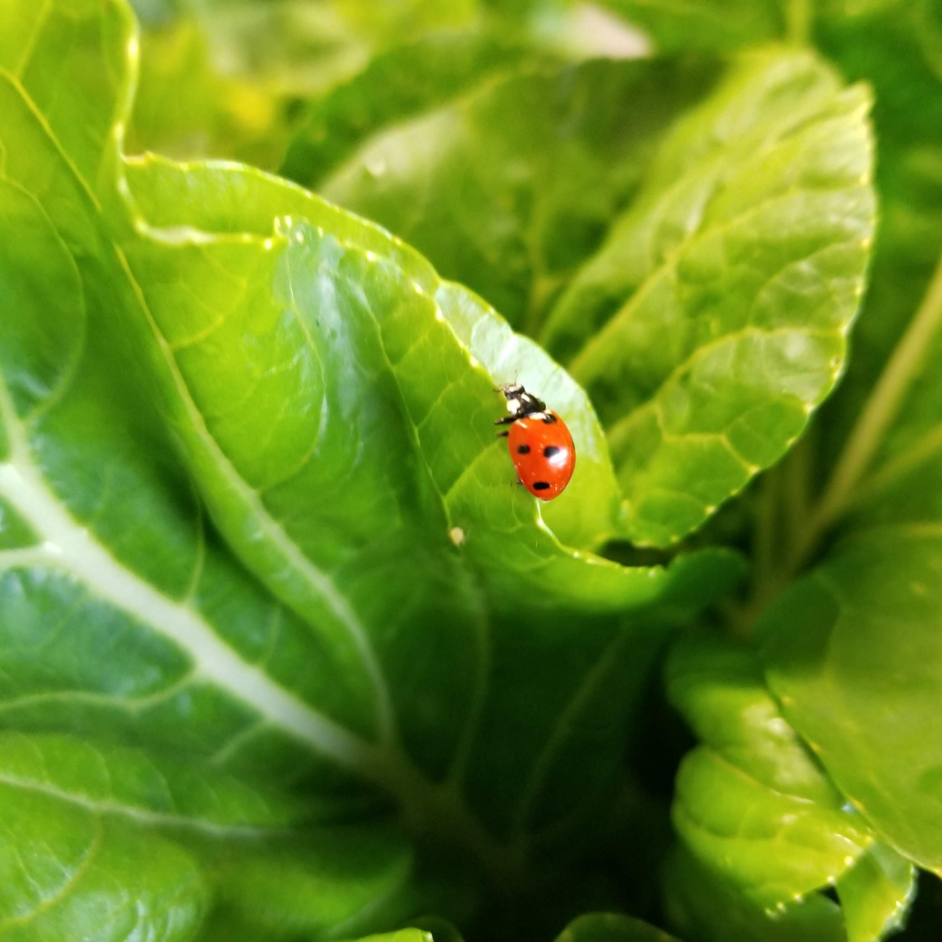 Beneficial LadyBugs