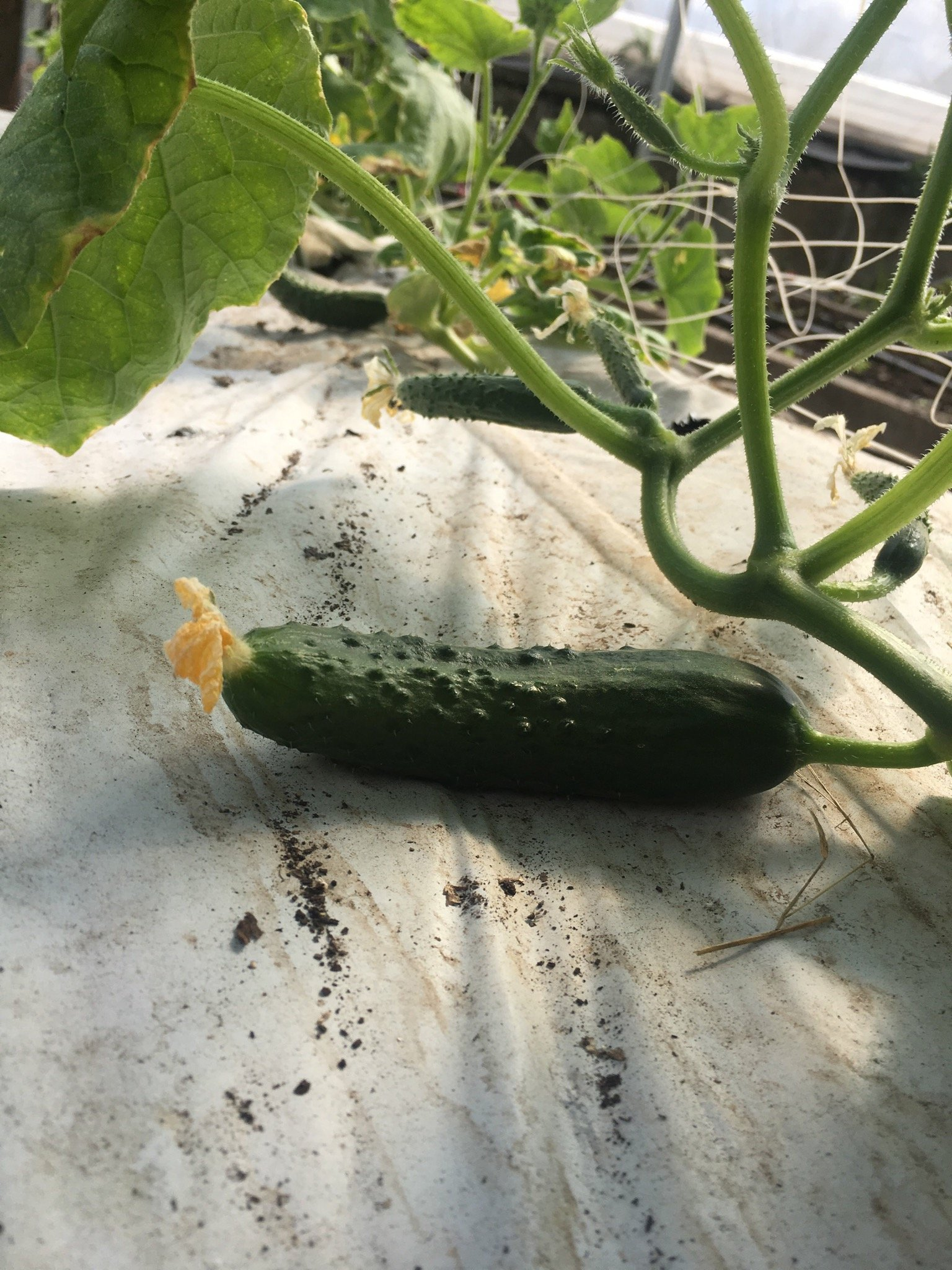 The Battle For The Cucumbers