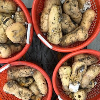 Farm Happenings for September 26, 2018: Winter Squash Failure and Alex's Campaign