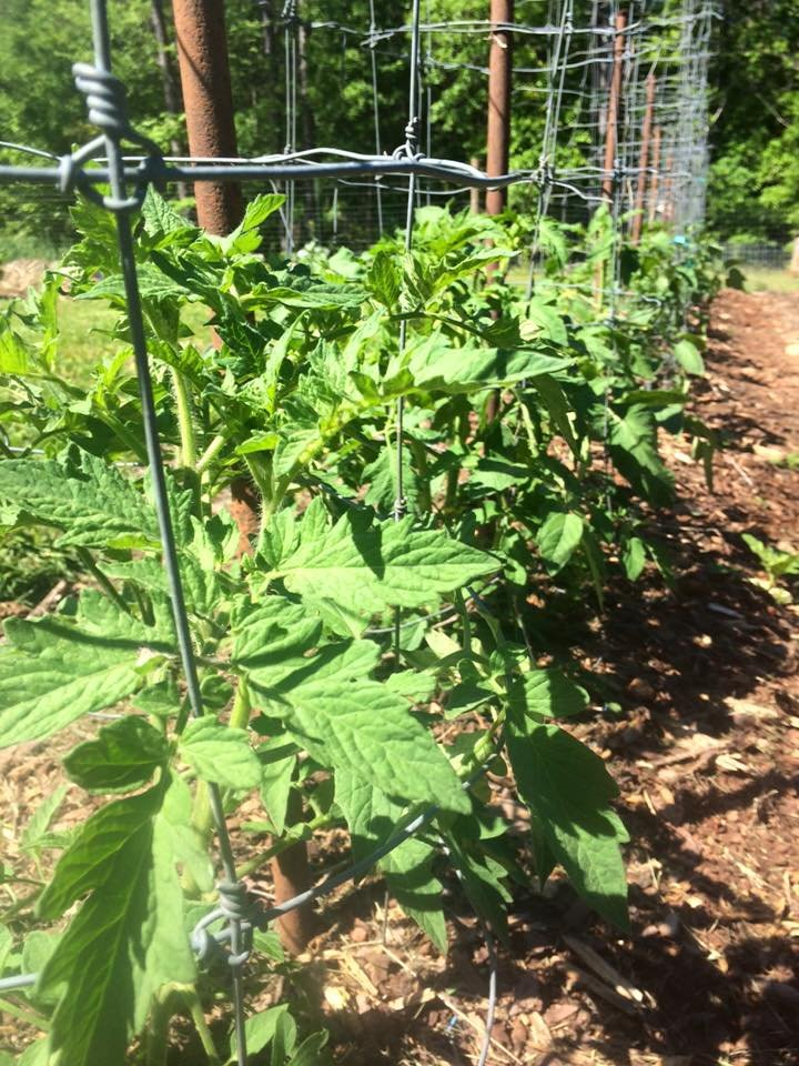 Learning to Grow Good Tomatoes