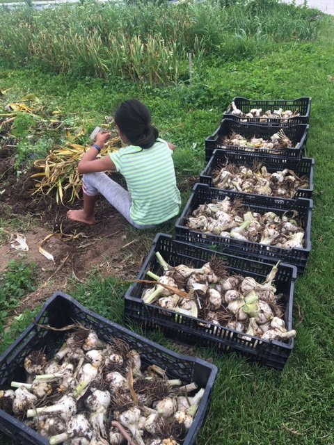 Previous Happening: Garlic is harvested!