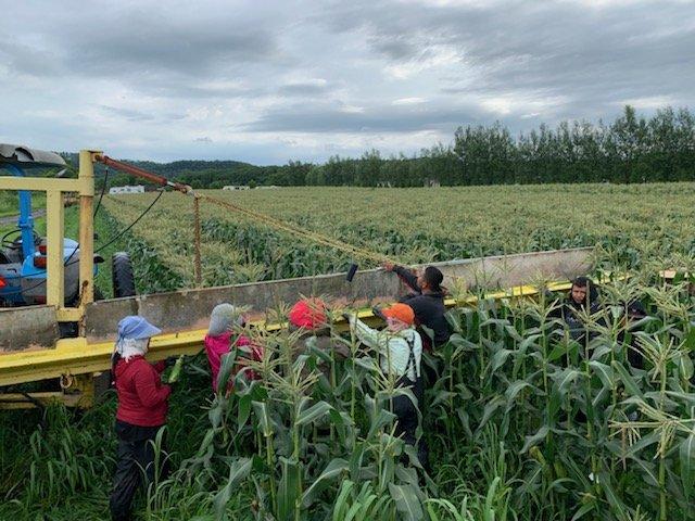 Sweet Corn Season is On!