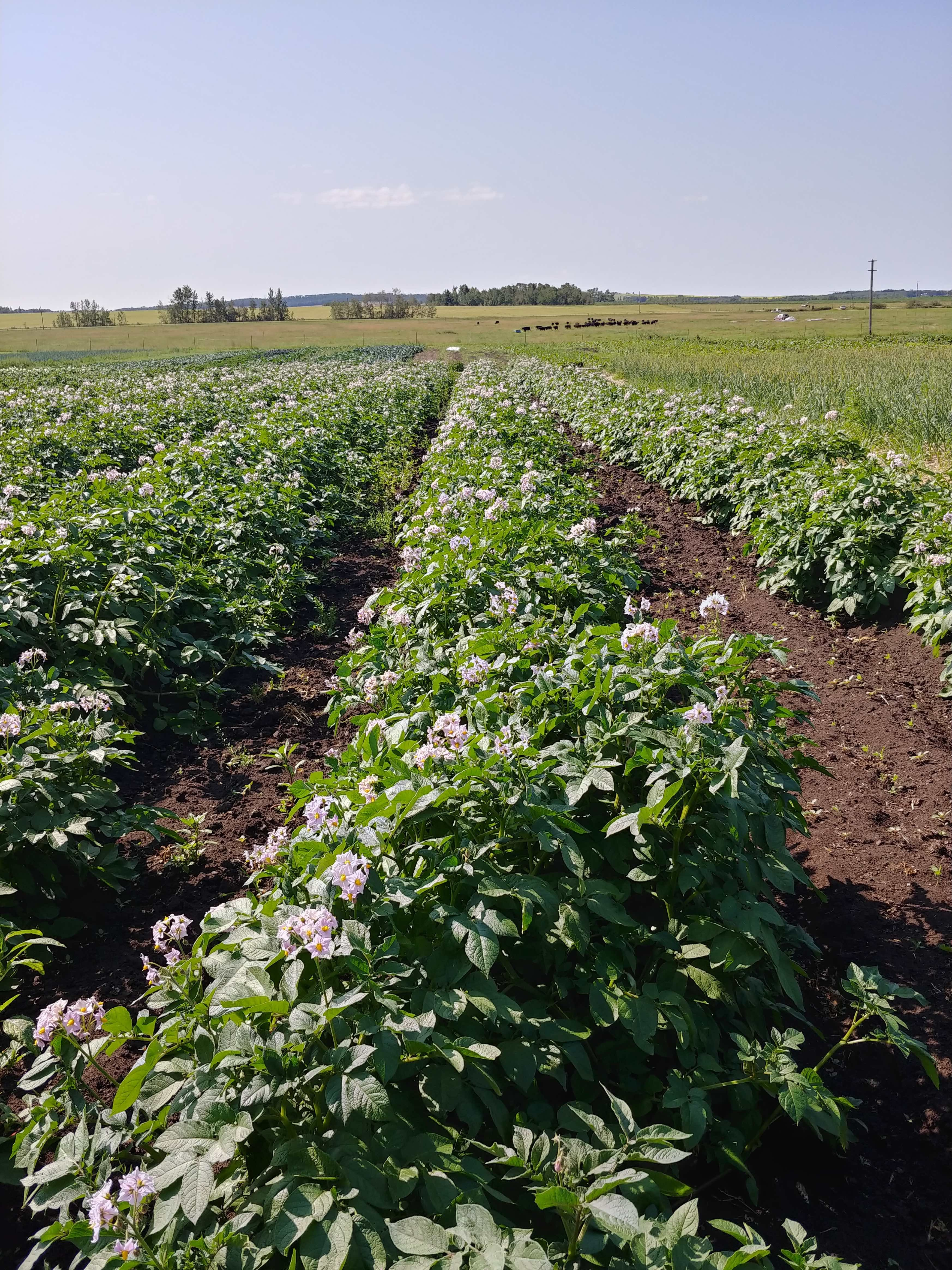 Farm Happenings for August 6, 2019 - Potatoes and Beef