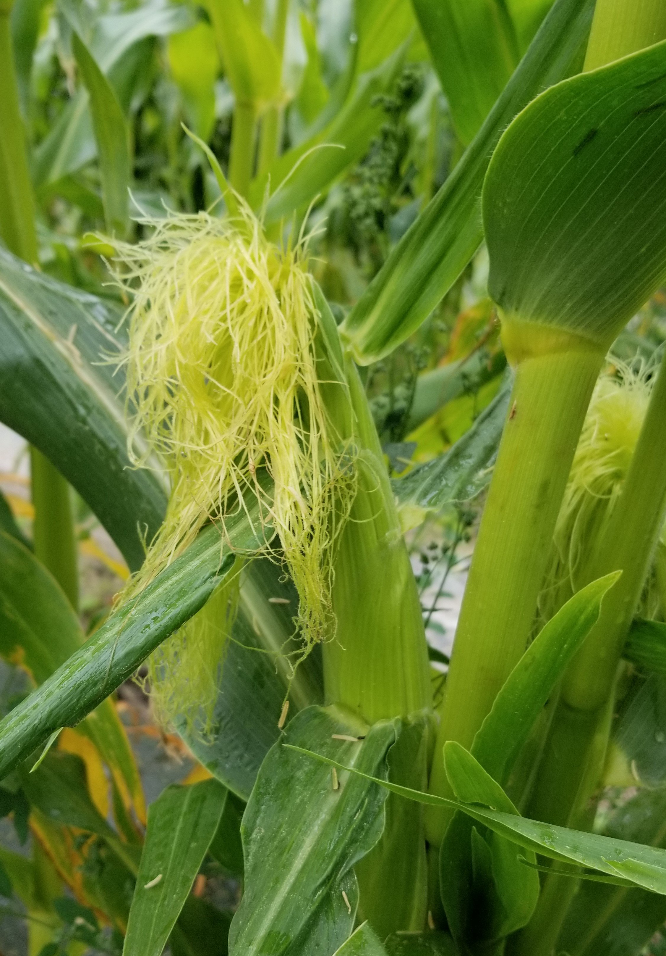 Corn slowly coming