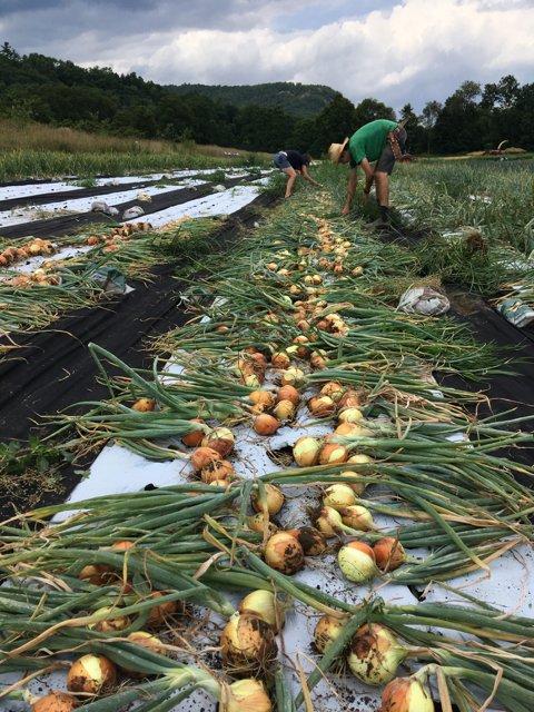 Bulk Harvest