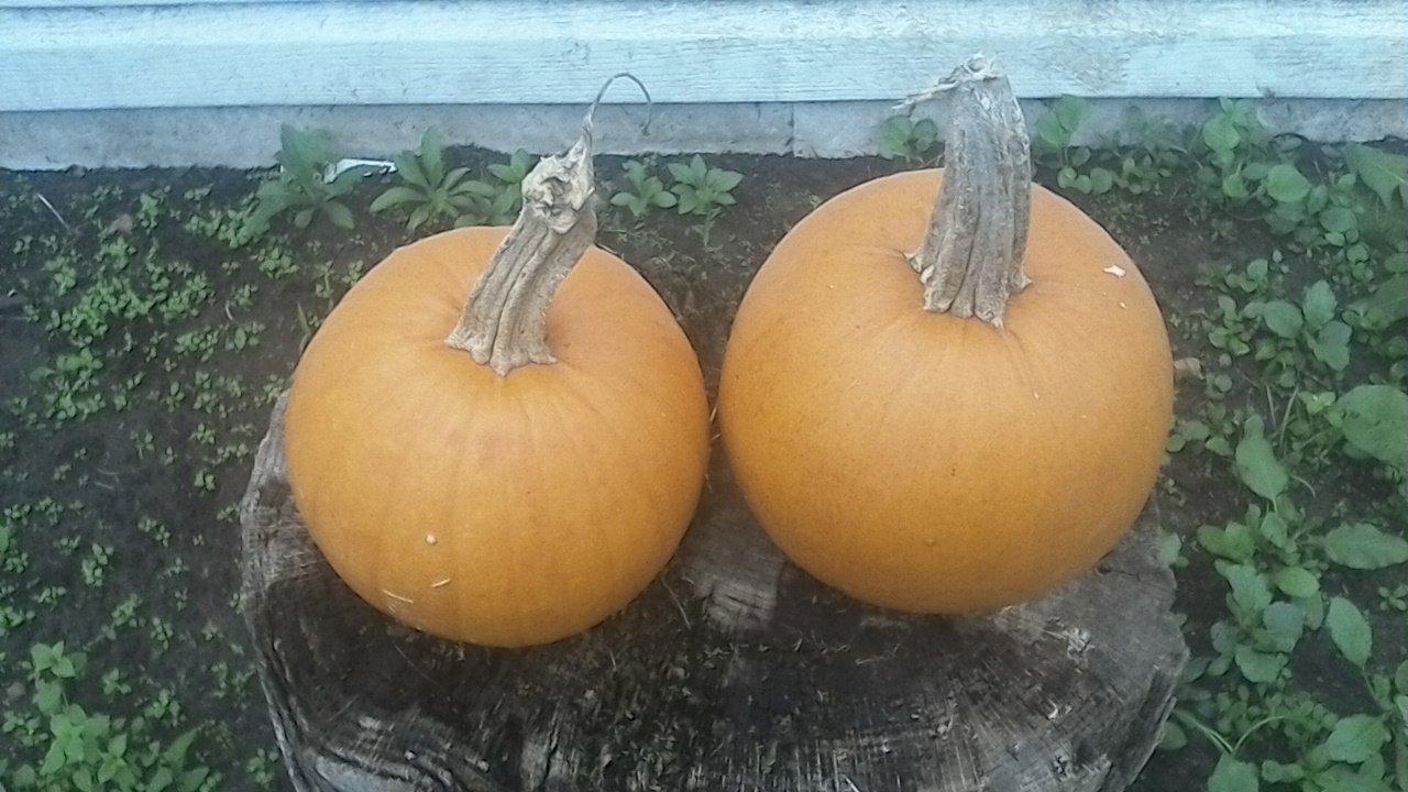 Pie Pumpkins!