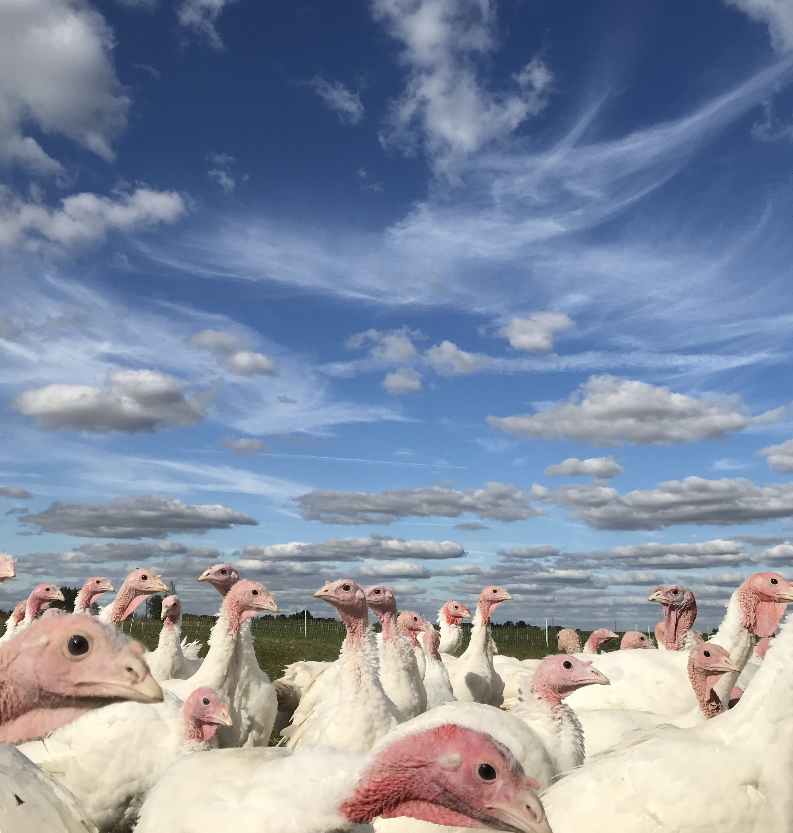 Next Happening: Farm Photo: Turkeys!