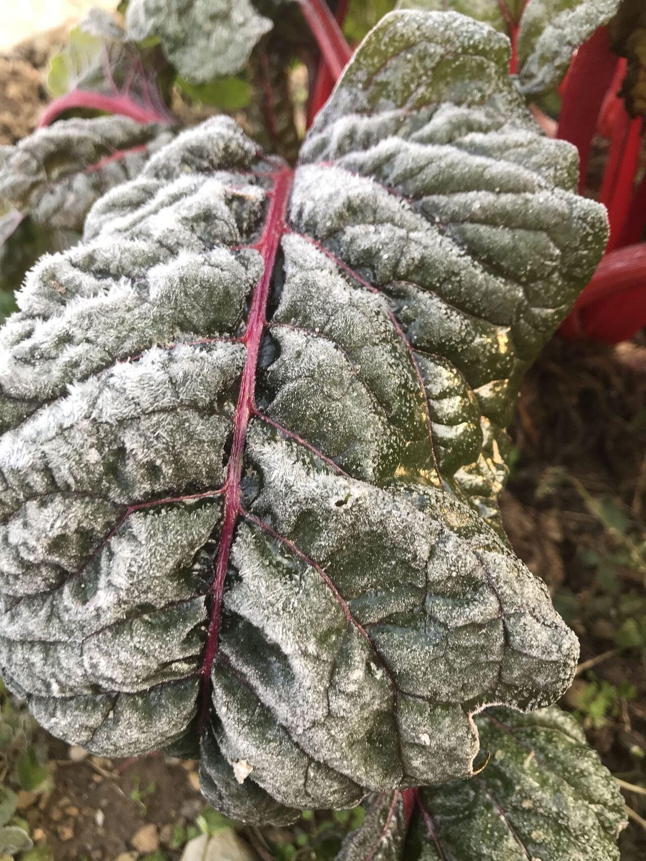 Frosty Greens + Recipe Chicken Kale Soup