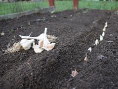 Garlic planting time!!!