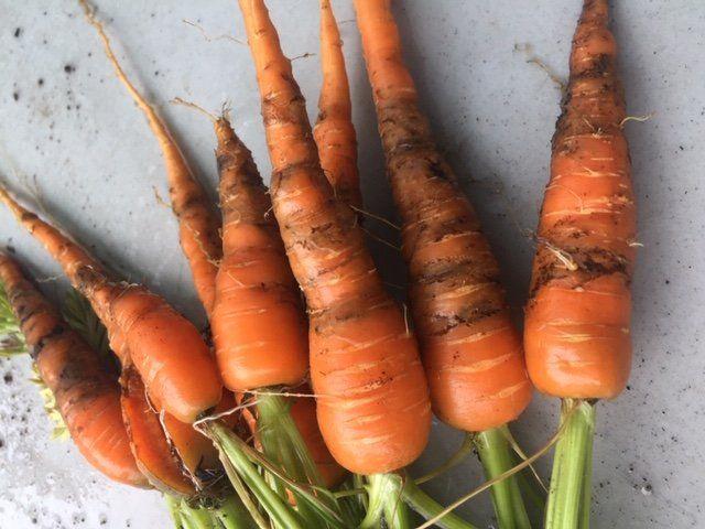Next Happening: sad carrots :( but thats farming...