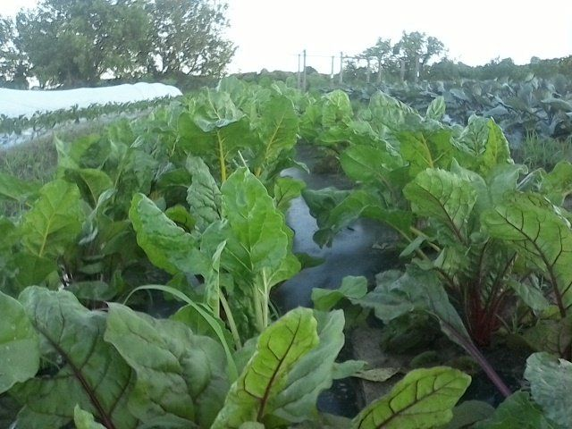 The Deer Have Had a Chard Fest!