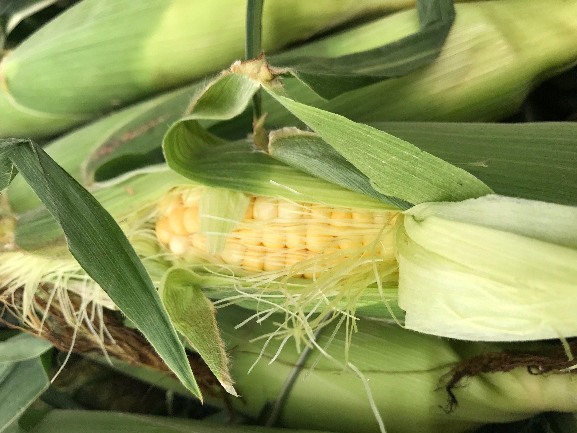 Previous Happening: Farm Happenings...mid July, bring on the summer fruit and Corn on the Cob