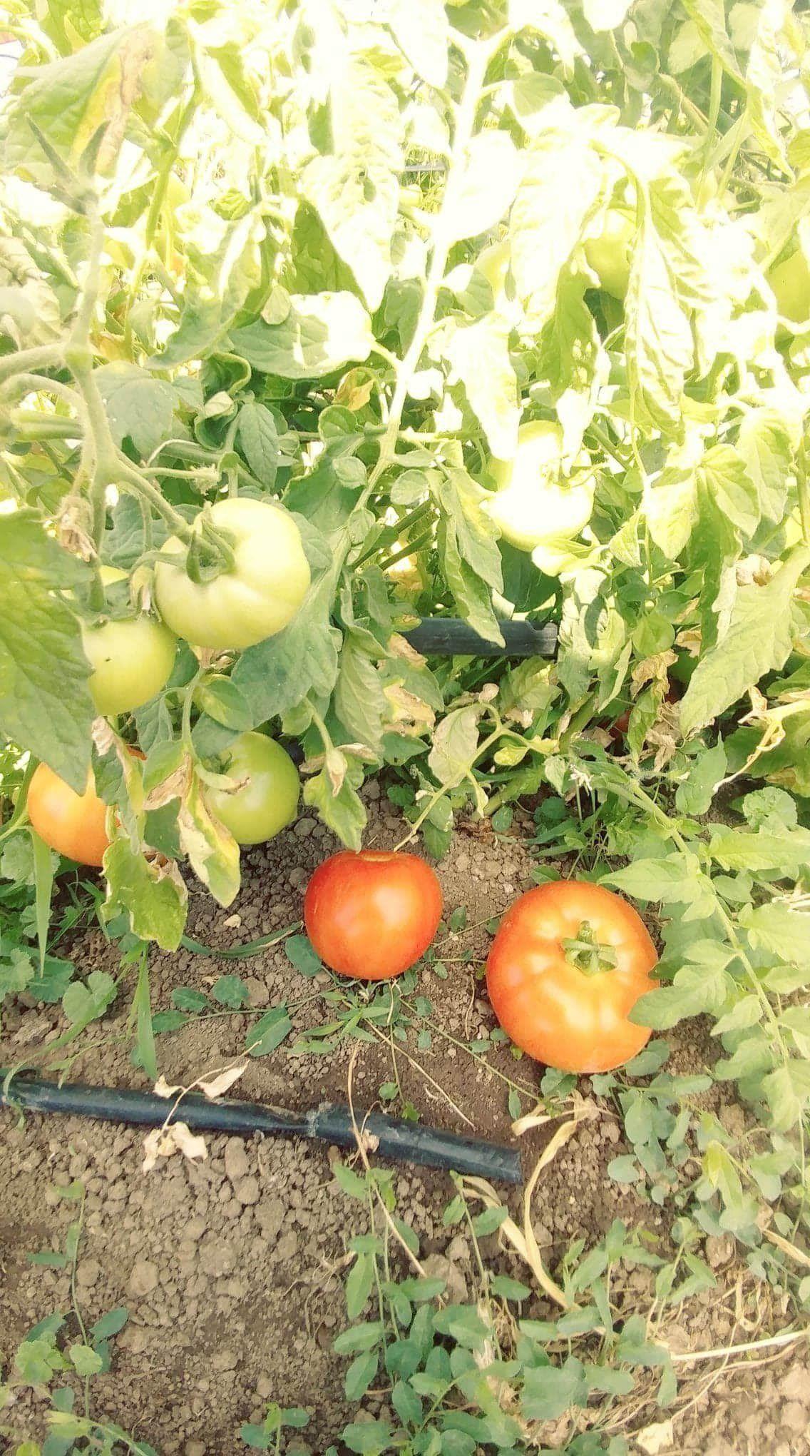 Next Happening: Tomatoes!