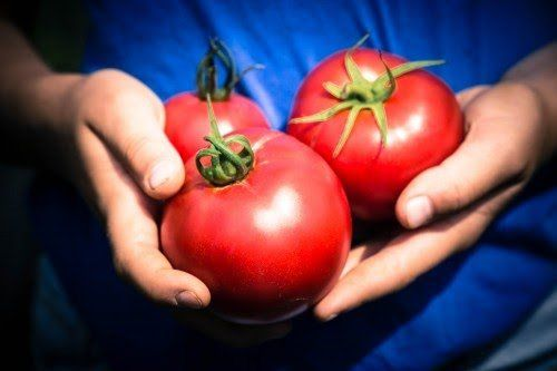 Bulk Tomato Sale Saturday Aug 29, 2020 at the Suffield Farm