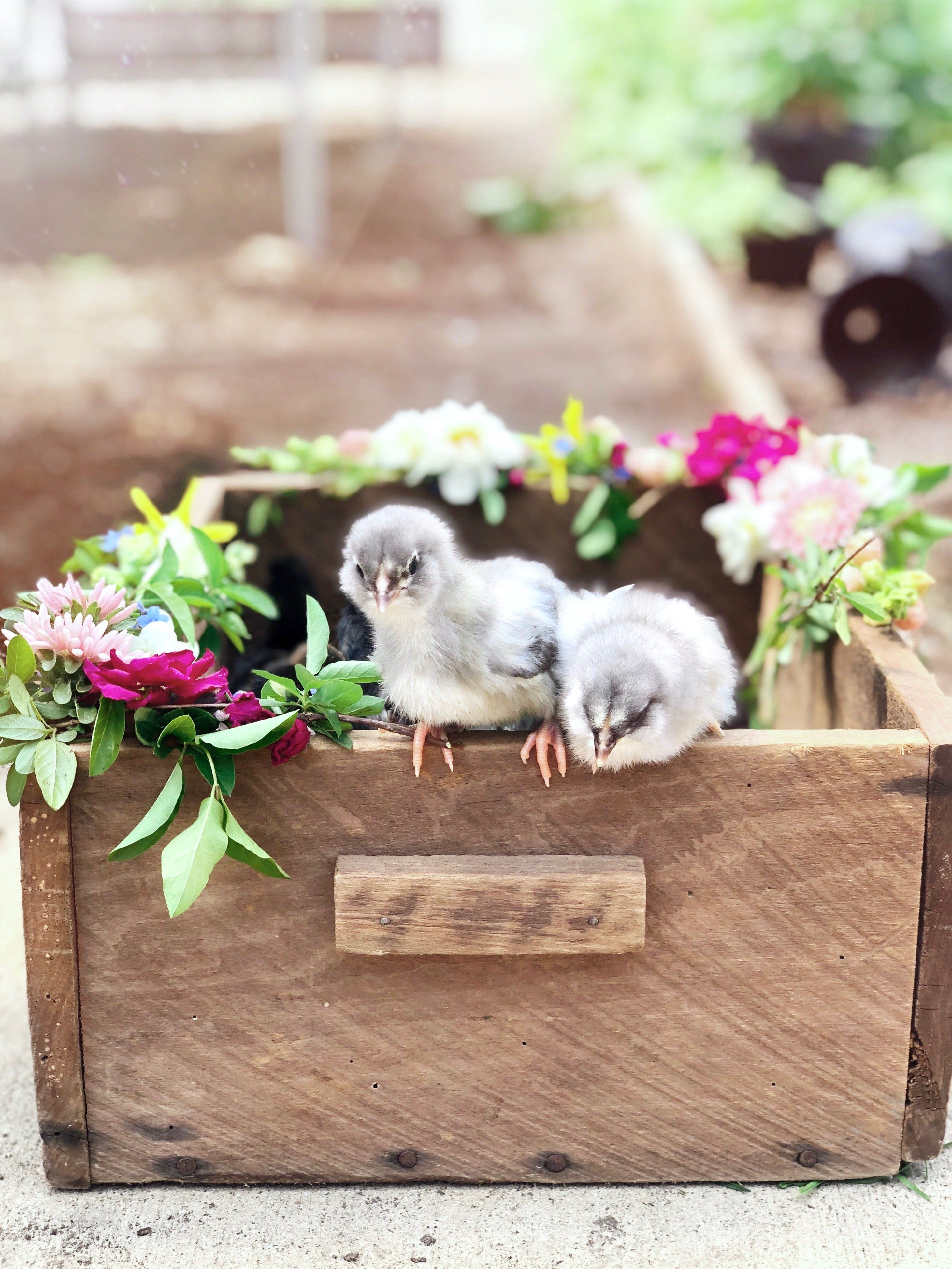 New chicks coming to the farm!