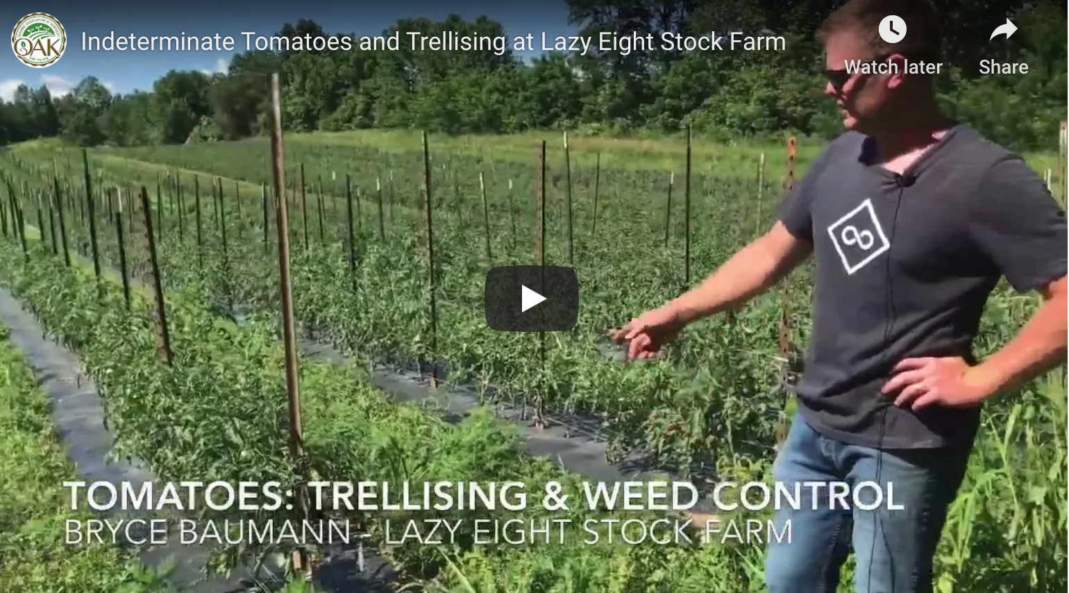 Trellising tomatoes at Lazy Eight Stock Farm