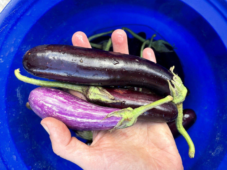 Eggplants R Us