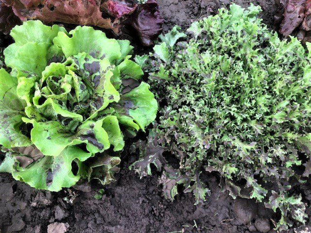 Lettuce Rejoice! September 23, 2021- A Weather Whirlwind