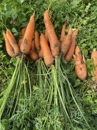 Autumn Week 7:  Carrots