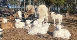 It's Lambing Season at Atlanta Harvest!