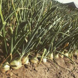 Lettuce Rejoice! September 16, 2021- Ode to Onions