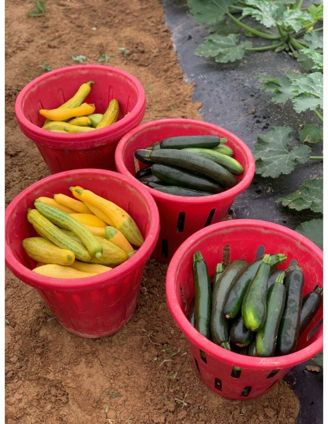 Friday CSA: Dickinson College Farm Field Notes for Week of June 24th