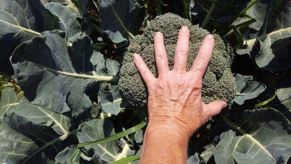 Ginormous Broccoli