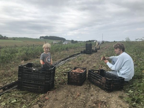 3000 lbs of sweet potatoes