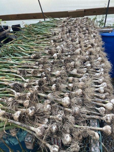 Garlic Superpowers