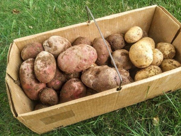 New Potatoes and Blackberries